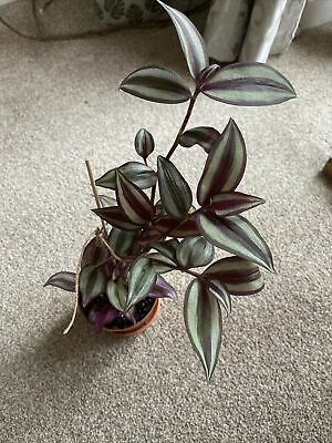 £10 • Buy Tradescantia  Purple Passion TRAILING Wandering Jew Plant Without Pot.