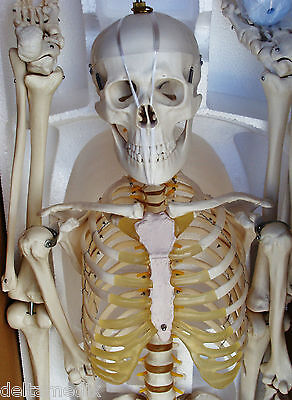 $295 • Buy Medical Anatomical Human Skeleton Model Professional Size 67'' 170 Cms IT-001