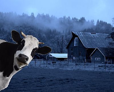 $19.75 • Buy Blue Black White Cow Farm Art Photobomb Photo Print Wall Art Picture Matted