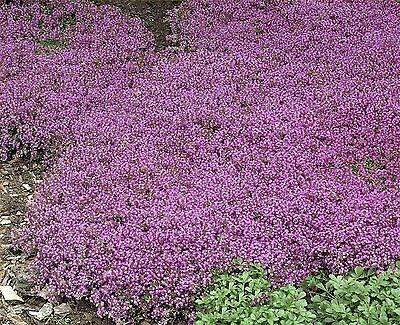 Thyme Purple Creeping Dwarf, Approx: 1000  Seeds , Herb Seed • 1.25£