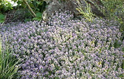 Herb Thyme English Winter Approx, 600 Seed Fairy Garden, Herb Seed • 1.25£