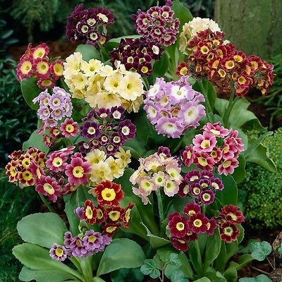 £2.35 • Buy Primula Auricula Mixed, Approx, 25 Seeds Fairy Garden, Flower Seed