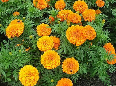 Marigold Crackerjack - African Type Appx 1,200 Seeds, Summer Bedding Plants  • 2.55£