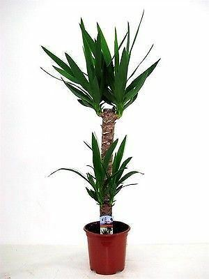 Yucca Tree With 2 Stems.  Tall Plant At 75cm. • 28.99£