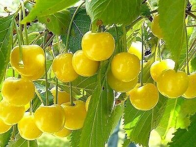 Very DELICIOUS☆Yellow Cherry Tree☆ 5 -Finest Seeds☆Sweet & Juicy Fruit☆UK  • 1.65£