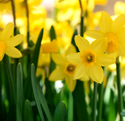 Daffodil Bulbs 25 'Tete A Tete ' Miniature Dwarf Narcissi / Actively Growing • 7.95£