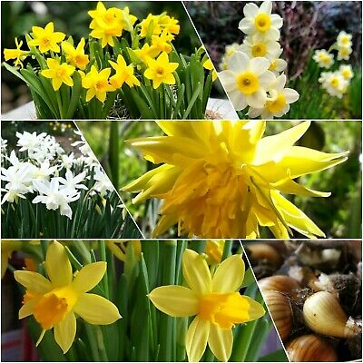 🌼Daffodil Bulbs Narcissus🌼Mixed Dwarf Spring Flowering Bulbs Top Quality • 8.95£