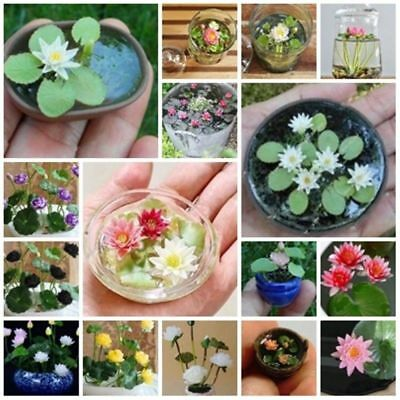 $ CDN3.01 • Buy Bowl Lotus Seeds Hydroponic Flowers Small Water Lily Seed Mixed Color -5 Seeds