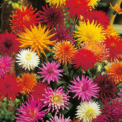 Dahlia Cactus Flowered Mixed X 20 Seeds, Summer Bedding Plants • 2.25£