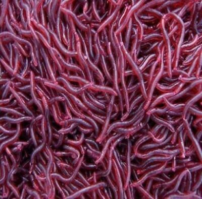 AU7.75 • Buy Bloodworm Soft Plastic Lure Fishing Worm Bait Red Blood Bloodworms Whiting Bream