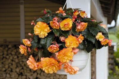 £2.69 • Buy Begonia F1 Illumination Golden Picotee, Approx. 10 Seeds (pellets) (M)