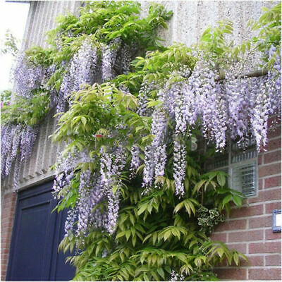 £3.59 • Buy Chinese Wisteria  X6 Seeds Wisteria Sinensis Fairy Flower Seeds