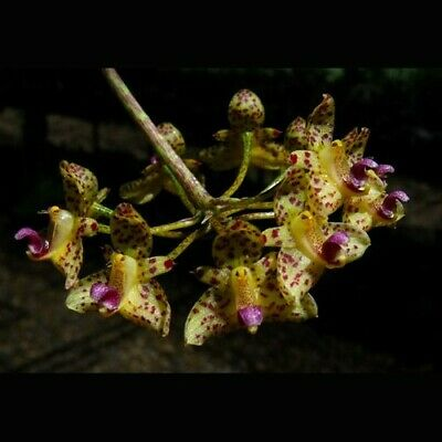 AU17.90 • Buy MOS. Orchid Species Bulbophyllum Violaceolabellum (very Rare, Small Seedling)
