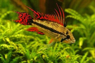 Pair Of Apistogramma Cacatuoides «Double Red» (Dwarf Cichlid) • 38£