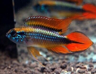 Pair Of Apistogramma Agassizii «Double Red» (Dwarf Cichlid) • 33£