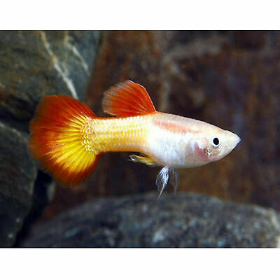 $59.99 • Buy Tequila Sunrise Male Guppies Live Tropical Freshwater Aquarium Fish Tank Guppy