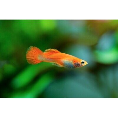 $59.99 • Buy Red Blonde Male Guppies Live Tropical Freshwater Aquarium Fish Tank Guppy