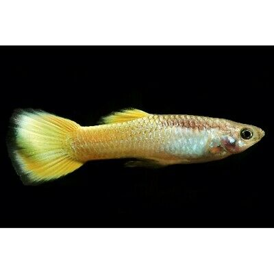 $59.99 • Buy Yellow Micariff Male Guppies Live Tropical Freshwater Aquarium Fish Tank Guppy