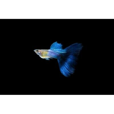 $59.99 • Buy Neon Blue Male Delta Guppy Live Tropical Freshwater Aquarium Fish Tank Guppies