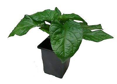 9cm Chilli Plants By CHILLIESontheWEB • 3.69£