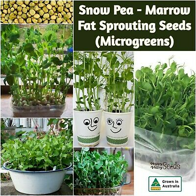 AU21.86 • Buy Snow Pea Marrow Fat Sprout 1000-10000 Seeds MICROGREEN Snowpea Sprouting EASY