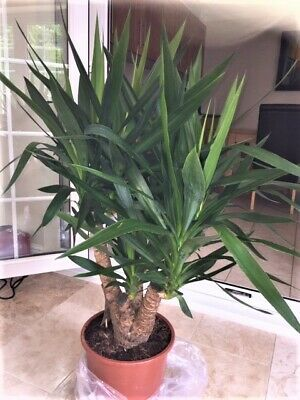 Majestic Branched  Yucca Elephantipes Potted Indoor Plant ( Conservatory Ideal ) • 85£
