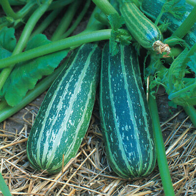 £1.35 • Buy Marrow Long Green Trailing Produces Very Large Dark Green Fruits,  X10 Seeds