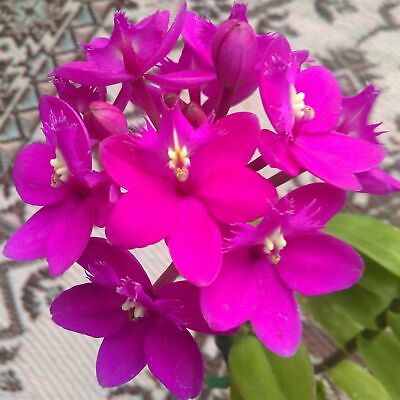 AU19 • Buy Epidendrum Orchid (Pacific Peacock X Special Valley) 'Fluro Pink'