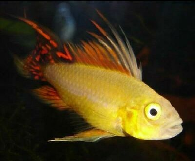 Pair Of Apistogramma Cacatuoides 'Gold Red' (Dwarf Cichlid) • 38£