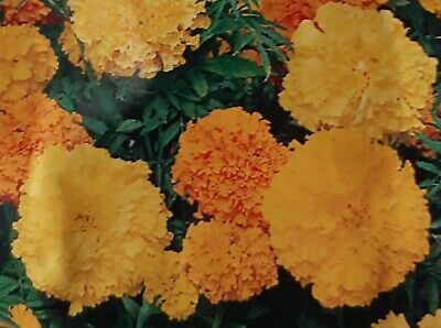 MARIGOLD (AFRICAN) DOUBLE MIXED 30 Seeds • 3.99£