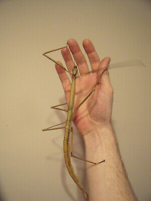 20 X Phobaeticus Magnus Stick Insect Eggs Ova Hatching Soon • 6.50£