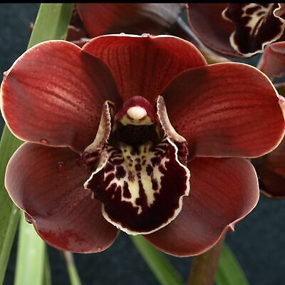AU47 • Buy Cymbidium Barrita Flame 'Black'