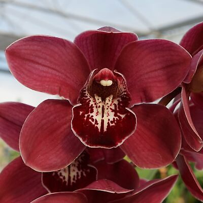 AU47 • Buy Cymbidium Barrita Magic 'Kristen'