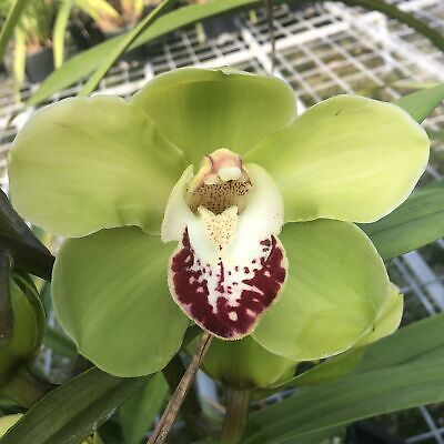 AU47 • Buy Cymbidium Ovns Valley 'tps Green Peace'