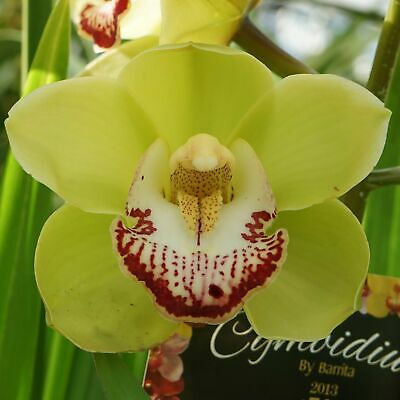 AU47 • Buy Cymbidium (Valley Den Hoogenband X Zenation) 'Debbie'