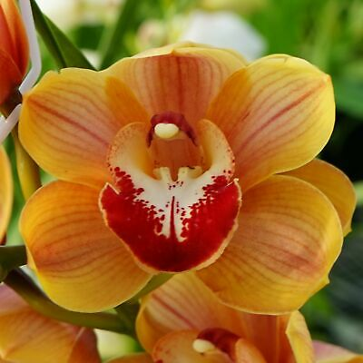 AU47 • Buy Cymbidium (Harbour City X Foxfire Crush) 'Orange'