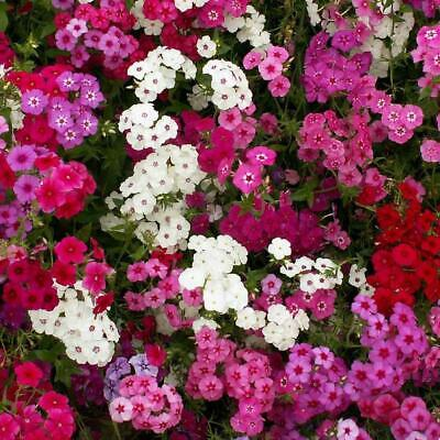 PHLOX Beauty Mixed 120+ Seeds FLOWER GARDEN Cottage HEDGE BORDER Plant EASY GROW • 1.77£