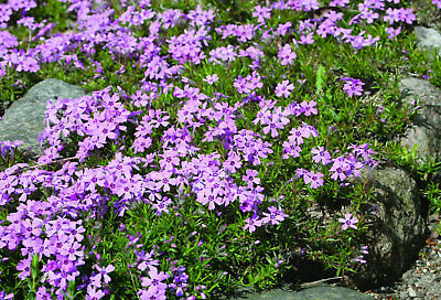 Phlox Douglasii Rosea Perennial Ground Cover Compact Flowering Alpine 9cm 2L Pot • 13.25£