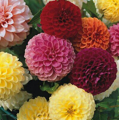 Dahlia Pompone Double Mixed Approx. 30 Seeds, Summer Bedding Plants • 2.25£