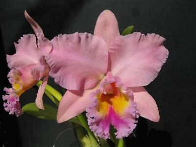 AU14 • Buy KFON Cattleya Orchid Rlc. George King 'Serendipity' AM/AOS Mericlone