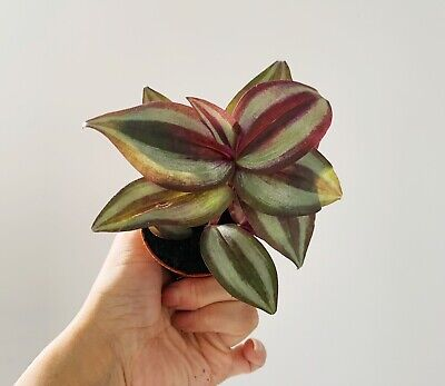 Two Tradescantia Zebrina Purple Heart Wondering Jew Rooted Plant (Send No Pot ) • 5.99£