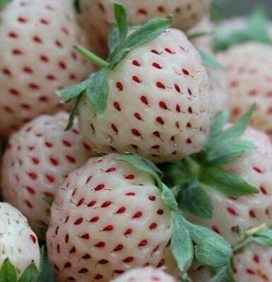 Pack 2 White Strawberry 'Pine-Berry'  WPC.Prins Vegetable Garden Runners / Roots • 4.85£