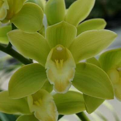 AU25 • Buy Cymbidium Orchid Barrita Clarity 'Green' In A 125mm Pot.