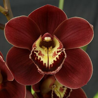 AU25 • Buy Cymbidium Barrita Rex 'Blazing' In A 125mm Pot.
