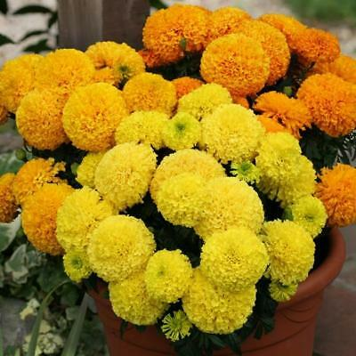 African Marigold Dune Mixed' Kings Quality Pack Flower Seeds  • 2£