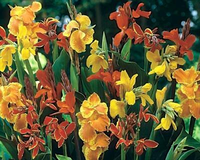 £8.95 • Buy Pack X6 Special Selection Canna Lily 'Mixed' Large Plug Plants Limited Supply!