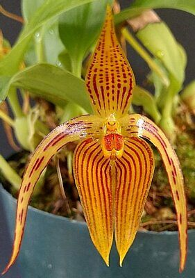 AU21.90 • Buy MOS. Orchid Species Bulbophyllum Inuctum 'yellow Form' (very Rare, Seedling)