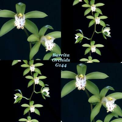 AU10 • Buy Species Cymbidium Orchid Seedling. Cym Hookerianum X Self