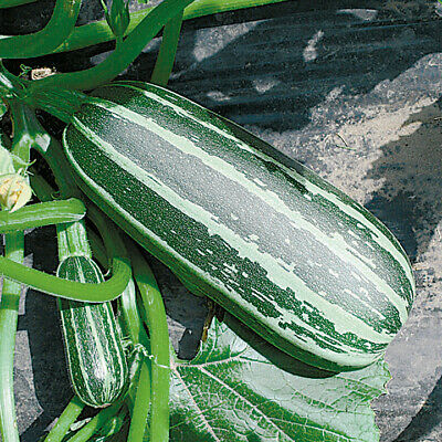 £1.39 • Buy Marrow Bush Baby Green With Pale Stripes. X10 Seeds, Suitable For Patio Tubs