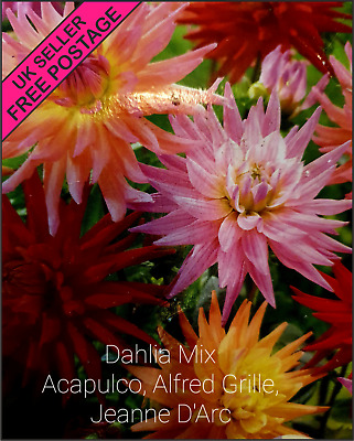 Cactus DAHLIA MIX Acapulco Alfred Grille Jeanne D'Arc Tubers Mix UK SELLER • 9.99£